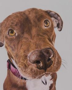The sweetest American Pit Bull Terrier Harlow. Colored pencil 8x10 http://ift.tt/2oB5jIF
