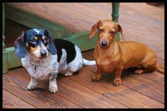 Doxie Sisters :)