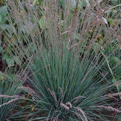 Molinia arundinacea 'Overdam' - Græsser - Home & Garden Ornamental Grasses, Planters, Home And Garden, Plant, Window Boxes, Pot Holders, Flower Planters, Pots