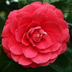 carmellia mathotiana supreme | Camellia 'Mathotiana Rubra'