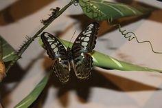 Natur, Sommerfugl, Thailand, Phuket