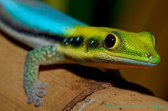 neon day gecko - Google Search