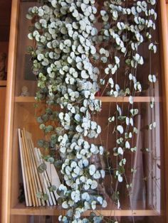 Rosary Vine, String of Hearts Ceropegia woodii indoor plants, planters, hanging plants Green Plants, Air Plants, Potted Plants, Indoor Plants, Tomato Plants, Cacti And Succulents, Planting Succulents, Planting Flowers, Pot Jardin