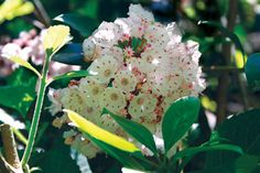 Sunless Success: 15 Great, Easy-to-Grow Shrubs for Shade   Virginia Gardener Web Articles
