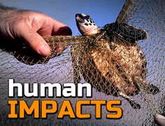 FREE Teaching resources for 11-14 year olds: Human Impacts on the Environment Students will learn about how humans can have negative impacts on the environment and endangered species. They will be asked to consider how human impacts can be measured, and what can be done to help. http://www.arkive.org/education/teaching-resources-11-14#resourceHumanImpacts1114