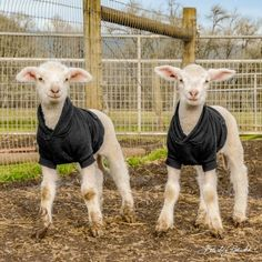 "LIVEKINDLY on Instagram: ""💕Sisters Judy and Jewel are too cute in their matching sweaters at @lighthousefarmsanctuary 🤗⠀ Credit:…"" Matching Sweaters, Cute Animal Photos, Jewel, Sisters, Cute Animals, Instagram, Pretty Animals, Gem, Cutest Animals"