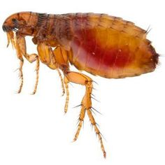 This is a guide about eco-friendly flea remedies. Most flea remedies use harsh and sometimes toxic chemicals. There are some eco-friendly options that are safer for your pet and the environment.