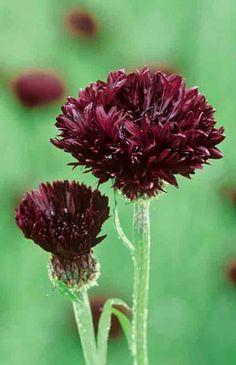 az flower, black plant, balls, flower garden, centaurea cyanus