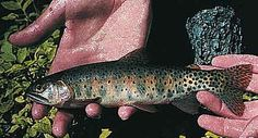 Colorado state fish: Greenback Cutthroat Trout