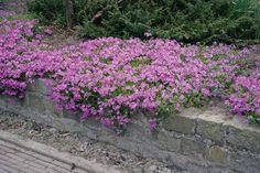 Image detail for -plants in list view phlox subulata mc daniel s cushion Perennial Flowering Plants, Garden Plants, Perennials, Moss Phlox, Planting Plan, Spring Blooms, Garden Landscaping, Shrubs, Pink Flowers