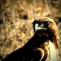 Red Tail Hawk in open field. Rustic edgy decor. by LensEtBrush
