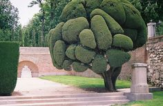 Topiary Garden, Garden Trees, Trees To Plant, Garden Art, Weird Trees, Unique Trees, Unusual Plants, Nature Tree, Tree Forest