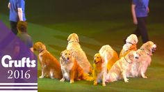 Southern Golden Retriever Display Team   Crufts 2016