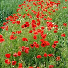 Red poppy flowers - for border