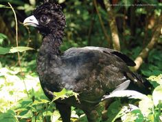 Turkey of the Tropics: The Blue-billed Curassow might look like a curly-headed turkey, but it's a rare one. Only 250 to 500 birds now exist, primarily in a single site in #Colombia. With our partner Fundación ProAves, we're helping to ensure a future for this rare bird!