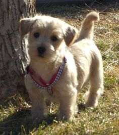 Wire Haired Fox Terrier/Dachshund mix | Dogs | Pinterest | Terrier Mix ...