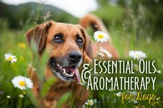 We're all well aware that scents (and odors) can evoke memories, set a mood, or calm one's mind. The use of essential oils as a form of therapy is nothing new and is relatively common in the human world,...