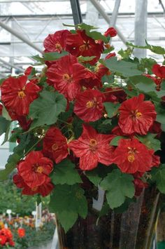 Abutilon x hybridum, F1 Hybrid, 'Bella' Series, Deep Coral Seeds £3.15 from Chiltern Seeds - Chiltern Seeds Secure Online Seed Catalogue and Shop