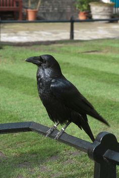 Raven at the Tower of London.