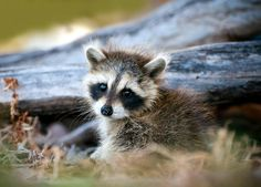 A cute baby raccoon in the woods Baby Racoon, Pet Raccoon, Baby Opossum, Cute Baby Animals, Animals And Pets, Strange Animals, Anime Animals, Poodles, Beautiful Creatures