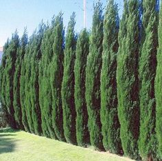 Emerald Green Arborviate | Emerald Green Thuja for Sale | Fast Growing Trees