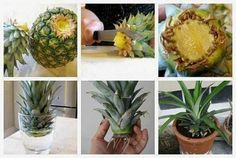 Gardening Tips To Regrow Fruit Trees From Seeds and Scraps Yourself, Grow your own Pinapple, Avocado, Apple, Lemon and Kiwi Trees from Kitchen scraps. Multiplication Végétative, Organic Gardening, Gardening Tips, Lemon Tree From Seed, Pineapple Planting, Pineapple Growing, Pineapple Top, Grow Your Own, Growing Vegetables