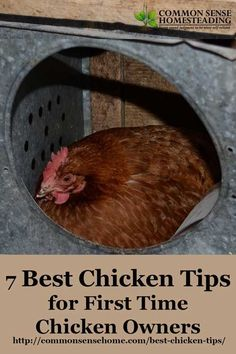 """Get your flock started with the best chicken tips - How to buy chickens, """"must have"""" items for your coop and run, chicken feeding and watering."""