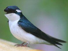 Birds: Swallows, Including Barn Swallow and Tree Swallow Pretty Birds, Beautiful Birds, Animals Beautiful, Tree Swallow, Barn Swallow, Animals And Pets, Funny Animals, Cute Animals, Odd Animals