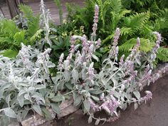 Lamb's Ear with blooms. Full Sun Tolerant, Drought resistant