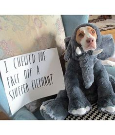 Dog shaming is shown at its best with Maymo the Lemon Beagle peering through the face of a stuffed elephant.