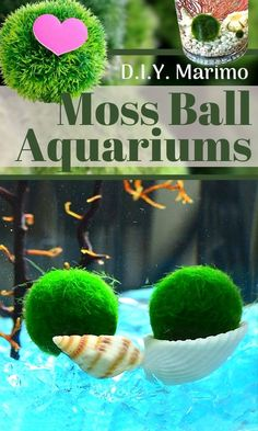 Marimo moss balls are easy to care for. Making a beautiful terrarium (or aquarium) for Marimos is fun and doesn't take much time. We will go over all the tips and design tricks you will need to know. Native to Japan, Marimo moss balls are a filamentous form of algae found at the bottom of fresh water lakes and rivers. Marimos form a velvet-like nearly perfect sphere of green with a moss-type appearance...