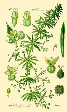 identification of Galium Aparine   Galium aparine