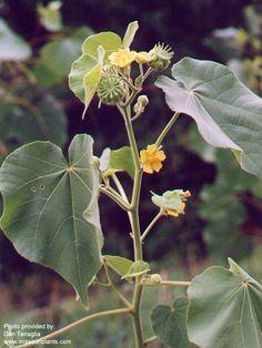 velvet leaf weed | Image courtesy Weed Science Society of America