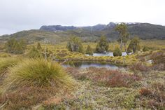 Mountain tarns ringed by pencil pines in the rain. Cradle Mountain National Park.
