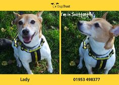 Lady is a bouncy girl at Dogs Trust Snetterton who loves fuss and attention, she does not like to be left alone. She loves walks and sniffing out new things and is looking for an experienced terrier home.