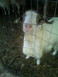 È Clementina la mia capra preferita