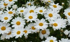 So pretty! Article with everything you need to know about Federation Daisies.