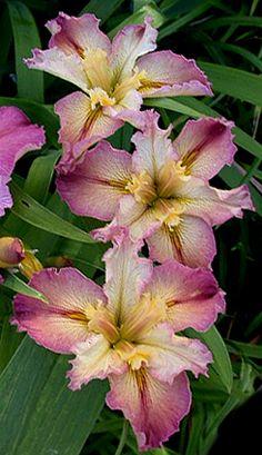 Iris 'Ann Hordern'
