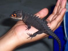Red Eye Crocodile Skink This is cute to me.