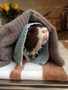 14 Squeaky Clean Guinea Pigs Soaking Up A Good Bath