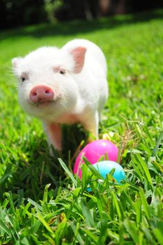 "Piglet with Easter eggs.  #colorful    "":O)"