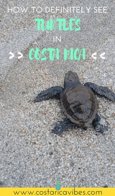 Did you know that you can see tons of sea turtles laying their eggs and babies going into the water in Costa Rica/ Find out how to experience this! #CostaRica #travel