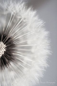 dandelion ~ black  and white