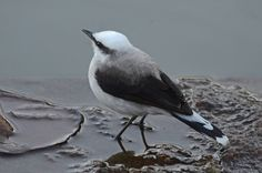 Foto lavadeira-mascarada (Fluvicola nengeta) por Susana Coppede   Wiki Aves - A Enciclopédia das Aves do Brasil