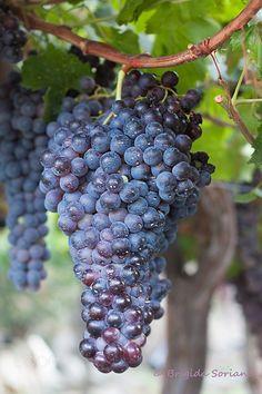 Bunch of Grapes Hanging on a Vine by Brigida Soriano, via Dreamstime Fruit Plants, Fruit Garden, Fruit Trees, Organic Vegetable Seeds, Organic Vegetables, Fruit And Veg, Fresh Fruit, Grape Vineyard, Vides