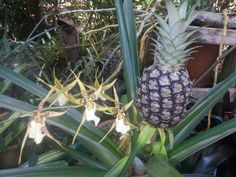 Pineapple and orchids