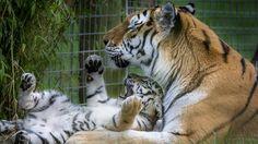 Tygrysiątko, Tygrysica, Klatka