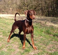 The Doberman Pinscher is among the most popular breed of dogs in the world. Known for its intelligence and loyalty, the Pinscher is both a police- favorite Doberman Colors, Doberman Love, Brown Doberman, Doberman Puppies, Corgi Puppies, I Love Dogs, Cute Dogs, Big Dogs, White Doberman Pinscher