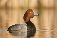 Red-head duck  by Mike  Lentz on 500px