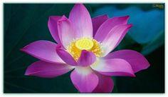 Canalização: Flor de Lótus de Transmutação e Amor